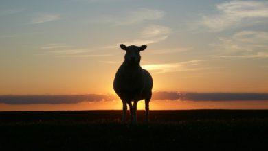 Photo of Ropa vroli černé ovce